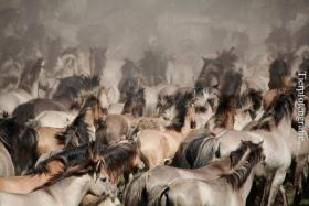 Foto 2 Fotoworkshop ''Wildpferdefang in Dülmen''