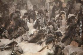 Foto 3 Fotoworkshop ''Wildpferdefang in Dülmen''