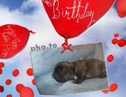 Frabzösische Bulldoggen Babys mit Papieren aus liebevoller Hausaufzucht