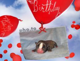 Foto 4 Frabzösische Bulldoggen Babys mit Papieren aus liebevoller Hausaufzucht
