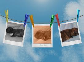 Foto 5 Frabzösische Bulldoggen Babys mit Papieren aus liebevoller Hausaufzucht