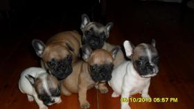 Fransösische Bulldoggen Welpen in Laage