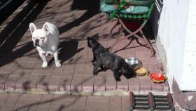 Foto 3 Franz. Bulldoggewelpen!