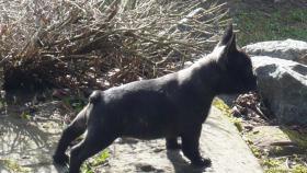 Foto 4 Franz. Bulldoggewelpen!