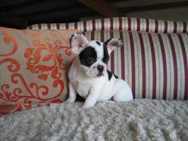 Foto 3 Französische Bulldogge