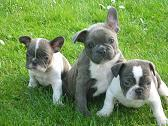Foto 2 Französische Bulldogge Blau
