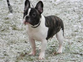 Foto 5 Französische Bulldogge-DECKRÜDE -