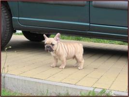 Französische Bulldogge mit Papiere FCI