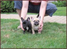 Foto 2 Französische Bulldogge mit Papiere FCI