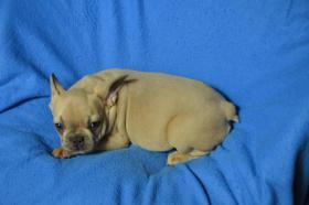 Foto 2 Französische Bulldogge mit Papiere, blau