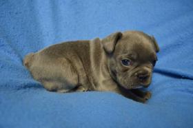 Foto 3 Französische Bulldogge mit Papiere, blau