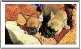 Foto 2 Französische Bulldogge-Welpen