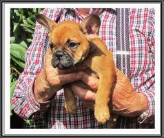 Foto 5 Französische Bulldogge-Welpen