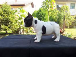 Französische Bulldogge Welpen von Champion Abstammung zum Verkauf