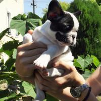 Foto 2 Französische Bulldogge Welpen von Champion Abstammung zum Verkauf
