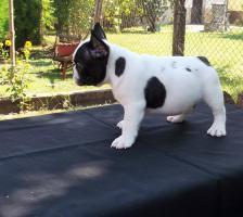 Foto 3 Französische Bulldogge Welpen von Champion Abstammung zum Verkauf