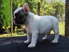 Foto 4 Französische Bulldogge Welpen von Champion Abstammung zum Verkauf