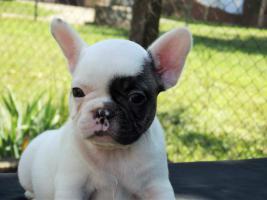 Foto 5 Französische Bulldogge Welpen von Champion Abstammung zum Verkauf