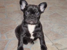 Foto 2 Französische Bulldogge Welpen zu verkaufen