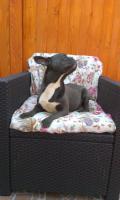 Französische Bulldogge blaue Hündin zu verkaufen!