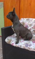 Foto 2 Französische Bulldogge blaue Hündin zu verkaufen!