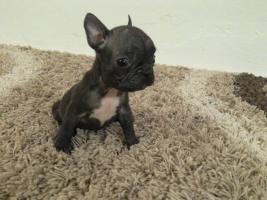 Foto 2 Französische Bulldogge ohne Pap. 3 Rüden Mini Mikro