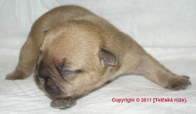 Foto 6 Französische Bulldogge - Fantastisches Angebot