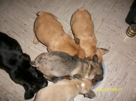 Foto 3 Französische Bulldogge - Welpen, selterne farbe !!!!!