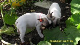 Foto 3 Französische Bulldoggen