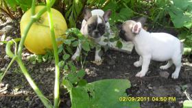 Foto 4 Französische Bulldoggen