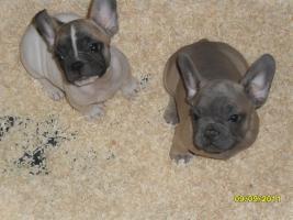 Foto 2 Französische Bulldoggen
