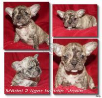 Foto 3 Französische Bulldoggen Babys suchen noch eine liebe Familie
