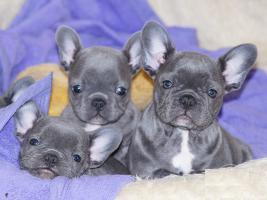 Französische Bulldoggen mit Papieren & Ahnentafel Blau Blue Fawn