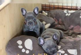 Foto 2 Französische Bulldoggen mit Papieren & Ahnentafel Blau Blue Fawn