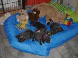 Foto 3 Französische Bulldoggen mit Papieren & Ahnentafel Blau Blue Fawn