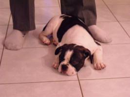 Foto 2 Französische Bulldoggen Welpe