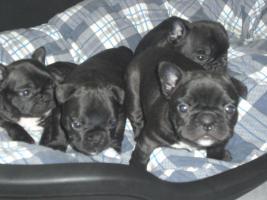 Foto 2 Französische Bulldoggen Welpen