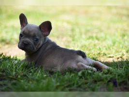 Foto 4 Französische Bulldoggen Welpen Abgabebereit