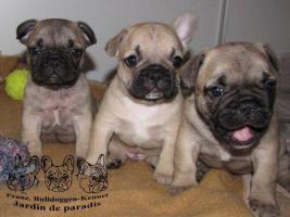 Französische Bulldoggen Welpen Hündin und Rüde mit Papieren