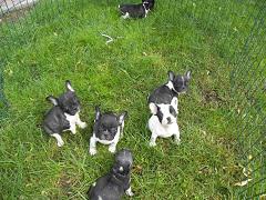 Foto 2 Französische Bulldoggen Welpen mit Papieren zu verkaufen