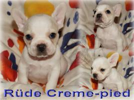 Französische Bulldoggen Welpen in creme mit Ahnentafel