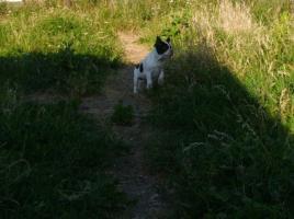 Foto 7 Französische Bulldoggenwelpen