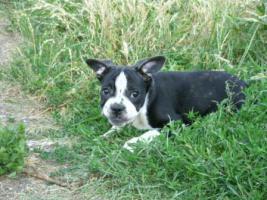 Foto 6 Französische Bulldoggenwelpen