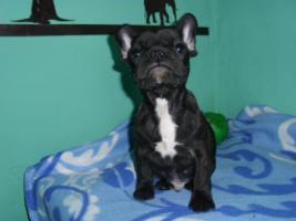Foto 2 Französische Bulldoggenwelpen