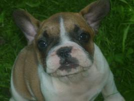 Foto 2 Französische Bulldoggenwelpen in ausgefallenen Farben