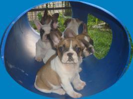 Foto 4 Französische Bulldoggenwelpen in ausgefallenen Farben