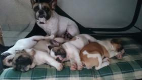 Foto 8 Französische Bulldoggenwelpen in ausgefallenen Farben