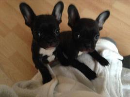 Französische Bulldoggenwelpen suchen ein neues Zuhause :D