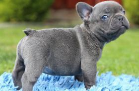 Französischer Bulldogge-Welpe , ,,