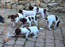 Französischer Vorstehhund Kurzhaar Typ Pyrenäen